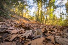 Liten mus i skogen arkivfoto