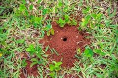 Liten myrstack med ett hål på jordningen med små växter och grönt gräs runt om det Arkivfoton