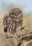 liten noctuaowl för athene Fotografering för Bildbyråer