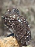liten noctuaowl för athene Royaltyfri Bild