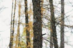 Liten nuthatch på ett sörjaträd Arkivbild