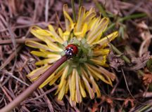 Liten nyckelpiga som tyst sitter på stammen av en gul blomma royaltyfria foton