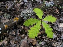 liten oak Royaltyfri Foto