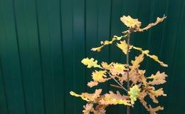 liten oak Arkivbild