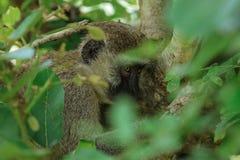 Liten och gullig brun apa som äter sidor i den Mikumi nationalparken, Tanzania royaltyfri bild