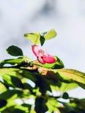 Liten och nätt rosa färgblomning royaltyfria bilder