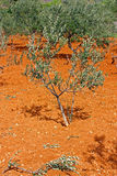 Liten olivträd Royaltyfria Foton