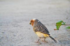 Liten orange fågel Royaltyfri Fotografi