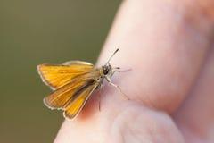 Liten orange fjäril på ett finger Royaltyfria Bilder