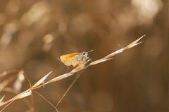 Liten orange fjäril på ett hösugrör Arkivbilder