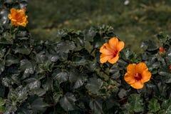 Liten orange hibiskusblomma med suddig trädgårdbakgrund royaltyfri fotografi
