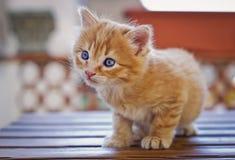 Liten orange kattunge Arkivfoto