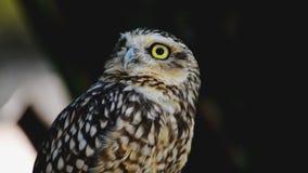 liten owl arkivfilmer