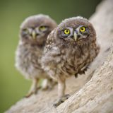 liten owl Arkivbilder