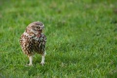 liten owl Royaltyfria Foton