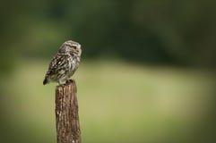 liten owl royaltyfri foto