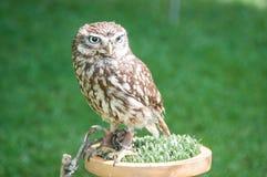 liten owl Arkivfoto