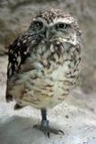 liten owl Royaltyfri Bild