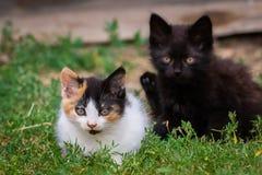 Liten päls- kattunge som två spelar i gård kattunge på grönt gräs, sund livsstil Royaltyfri Bild