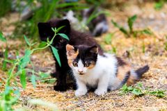 Liten päls- kattunge som två spelar i gård kattunge på grönt gräs, sund livsstil Royaltyfria Foton