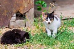 Liten päls- kattunge som två spelar i gård kattunge på grönt gräs, sund livsstil Royaltyfria Bilder