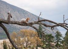 Liten päls- röd ekorre utan en fot på filial i bakgrunden av träd Royaltyfri Foto