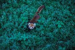 Liten panda i det gröna gräset fotografering för bildbyråer