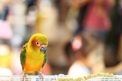 Liten papegoja Arkivfoto