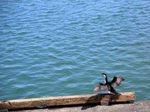Liten pied kormoranfågel Arkivfoton
