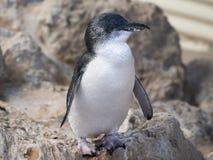Liten pingvin, pingvinö, västra Australien Royaltyfri Fotografi
