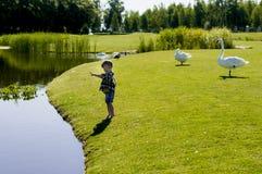 Liten pojke med svanar royaltyfri foto