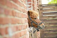 liten ponny Arkivfoton