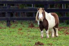 Liten ponnyhäst Arkivbilder