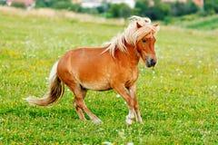 Liten ponnyhäst (Equusferuscaballusen) Royaltyfria Bilder