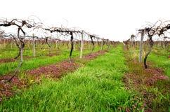Liten privat vingård Arkivfoton