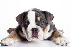 Liten puppu av engelsk billdoggrå färger och vit Fotografering för Bildbyråer