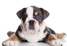 Liten puppu av engelsk billdoggrå färger och vit Arkivbilder