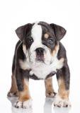 Liten puppu av engelsk billdoggrå färger och vit Royaltyfri Foto
