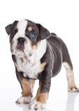 Liten puppu av engelsk billdoggrå färger och vit Royaltyfria Foton