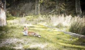Liten räv i skogen Arkivfoton