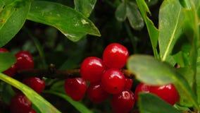 Liten röd bergfrukt, gräsplansidor och mörk bakgrund arkivfoto