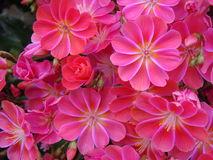 Liten röd blomma Arkivfoton