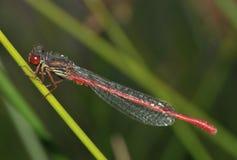 Liten röd Damselfly Fotografering för Bildbyråer