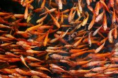 Liten röd karp i sjövattnet fotografering för bildbyråer
