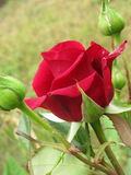 Liten röd sammet steg Royaltyfria Bilder