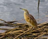 Liten rördromfågel som söker efter fisken royaltyfri fotografi