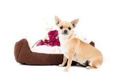 Liten rasren hund Royaltyfri Fotografi