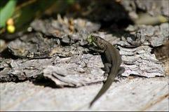 Liten reptil Arkivfoton