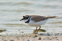 Liten Ringed brockfågel - Charadriusdubius Royaltyfria Bilder
