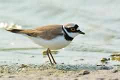 Liten ringed brockfågel - Charadriusdubius Royaltyfri Foto